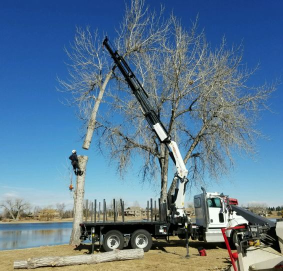 A large boom truck is holding the top part of a large tree, while the tree cutter is hanging about 10 feet in the air cutting the tree at his level. The background is a bright blue skies with a blue lake behind them.
