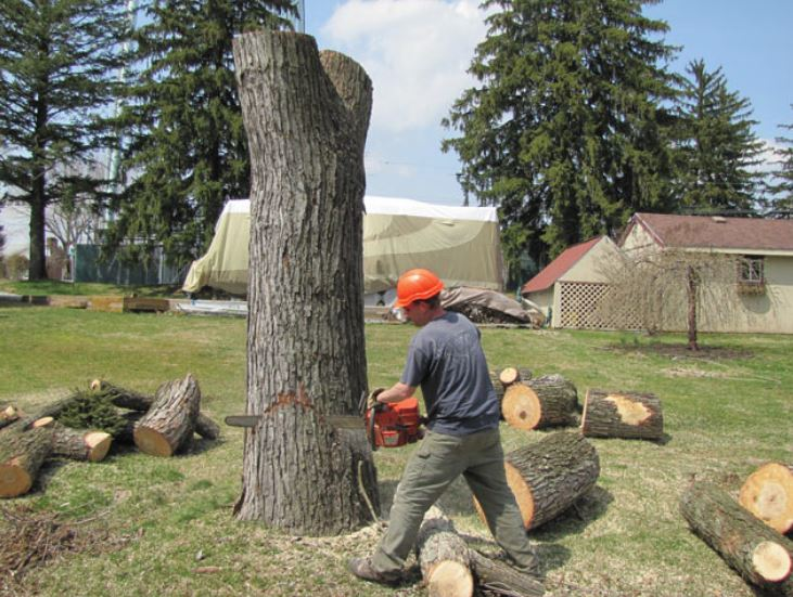 A tree cutter is making a cut using a large chain saw into the side of a large diameter tree trunk.  He has numerous pieces of the tree laying around him that he already cut.